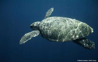 Caretta caretta is fascinating as a very ancient and long-lived species
