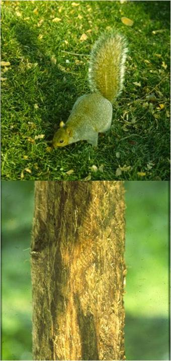 A young beech with the bark on its stem removed by a grey squirrel (above) does not survive.
