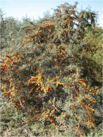 Sea-buckthorn is a prolific producer of yellow berries