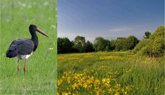 A black-stork, and a meadow with day-lilies at Nemesnép