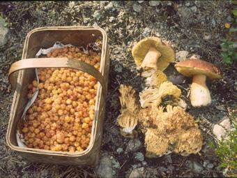 Fruits and fungi as Non Timber Forest Products in Sweden