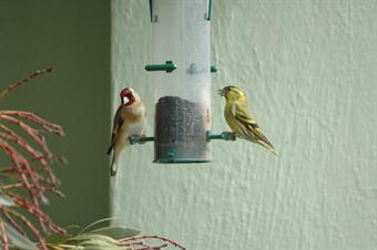 Feeding can replace lost habitat for finches